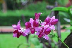 Orchidee Orchidee Phalaenopsis Rosa Orchidee Rosa Orchideen-Blume Orchidee f Stockbild