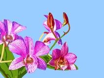 Orchidee: Ortgies Cattleyopsis Royalty-vrije Stock Afbeelding