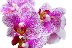Orchidee over wit Royalty-vrije Stock Foto