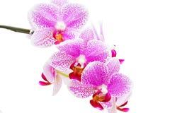 Orchidee over wit Stock Afbeeldingen