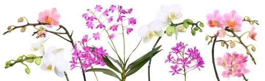 Orchidee, panorama ilustracja wektor