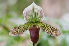 Orchidee, Paphiopedilum lawrenceanum stockfotografie