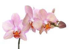 Orchidee Phalaenopsis Lizenzfreies Stockbild