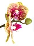 Orchidee Phalaenopsis royalty-vrije stock foto's