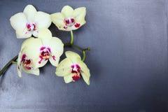 Orchidee (Phalaenopsis) Royalty-vrije Stock Foto's