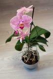 Orchidee Phalaenopsis Stockfoto