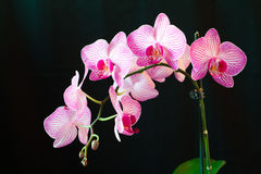 Orchidee Phalaenopsis Stockfotos