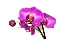 orchidee - phalaenopsis Fotografie Stock