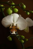 Orchidee Phalaenopsis Stock Afbeelding