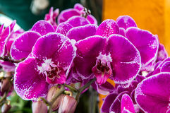 Orchidee Phalaenopsis Stockbild