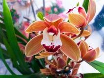 Orchidee Phalaenopsis Lizenzfreie Stockfotografie