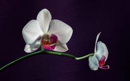 Orchidee Phalaenopsis auf Veilchen Stockfoto