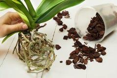 Orchidee Phalaenopsispflanzen, -boden, -wurzel und -moos Lizenzfreies Stockfoto