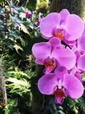 Orchidee Phalaenopsisrosa wild Lizenzfreies Stockfoto