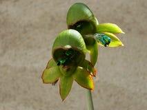 Orchidee pimenton, Royalty-vrije Stock Foto's