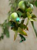 Orchidee pimenton, Stock Fotografie