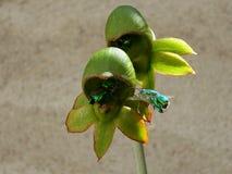 Orchidee pimenton, Royalty-vrije Stock Foto