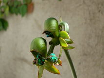 Orchidee pimenton, Stock Foto's