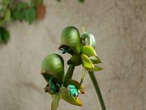 Orchidee pimenton, Stock Afbeeldingen
