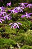 Orchidee Pleione royalty-vrije stock afbeeldingen