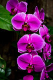 Orchidee porpora brillanti Immagine Stock