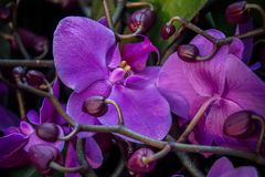 Orchidee porpora con i germogli fotografie stock libere da diritti