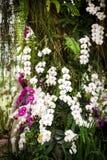 Orchidee porpora e bianche Fotografia Stock
