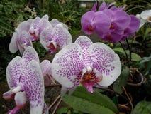 Orchidee porpora, fiori porpora, fiori tropicali Immagine Stock