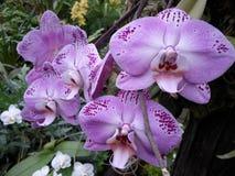 Orchidee porpora, fiori porpora, fiori tropicali Fotografia Stock
