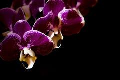 Orchidee porpora su un fondo nero Fotografia Stock Libera da Diritti