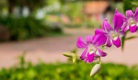 Orchidee porpora sull'albero Fotografie Stock