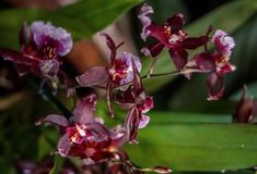 Orchidee porpora sulla fine verde scuro del fondo su immagine stock