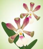 Orchidee preziose isolate, illustrazione di vettore Fotografie Stock