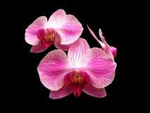 orchidee różowią biel Obrazy Royalty Free