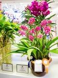 Orchidee rare nel modello Bangkok 2014 del Siam Fotografia Stock Libera da Diritti