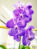 Orchidee rare nel paradiso 2014 dell'orchidea di Bangkok del modello Fotografie Stock Libere da Diritti