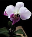 Orchidee realistische vectorillustratie Stock Afbeelding