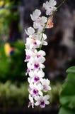 Orchidee Rhychostylis Royalty-vrije Stock Foto's