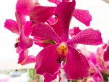 Orchidee rosa Immagini Stock