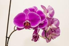 Orchidee rosa Fotografie Stock Libere da Diritti