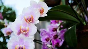 Orchidee rosa-chiaro archivi video