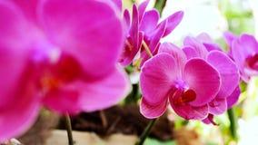 Orchidee rosa-chiaro nel giardino archivi video