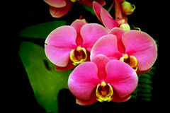Orchidee rosa eleganti contro fondo scuro Immagini Stock Libere da Diritti
