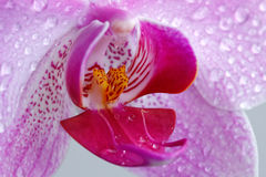 Orchidee - Rosa. (Fragment.). Lizenzfreies Stockfoto