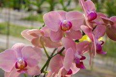 Orchidee rosa tropicali Immagine Stock Libera da Diritti