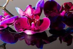 Orchidee rosse Fotografie Stock Libere da Diritti