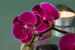 Orchidee rosse Fotografia Stock