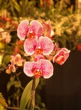 Orchidee rosse e bianche Fotografie Stock