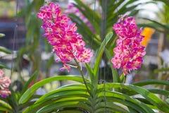 Orchidee roze bloem, Ascocentrum Miniatum Royalty-vrije Stock Fotografie