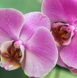 Orchidee roze purpere bloem in tropische tuin, de lentedag voor pos Stock Afbeeldingen